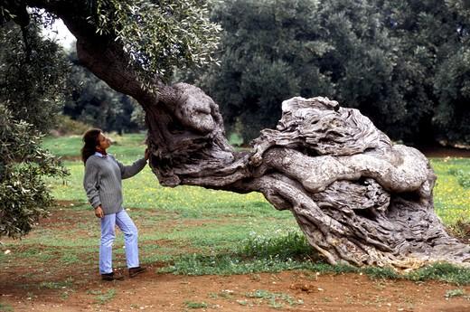 Secular olive tree, Ostuni, Puglia, Italy : Stock Photo