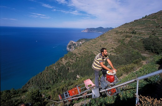 Stock Photo: 4261-49384 Grape harvesting in Sciacchetrà vineyard, Corniglia, Cinque Terre, Ligury, Italy