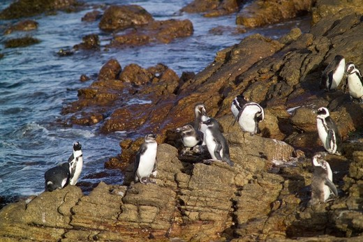 African Penguins, Overstrend, Betty's Bay, South Africa, Africa : Stock Photo