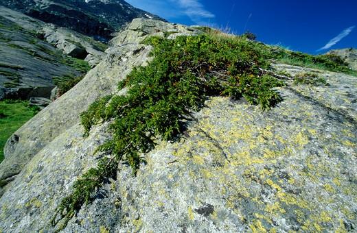 Stock Photo: 4261-50872 Juniperus Communis, Juniper, Alpi-Appennini, Italy