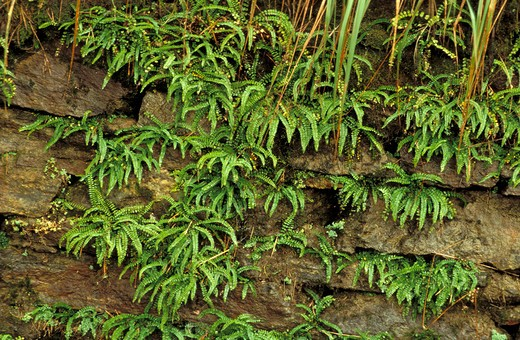 Asplenium Trichomanes, Fern, Italy : Stock Photo