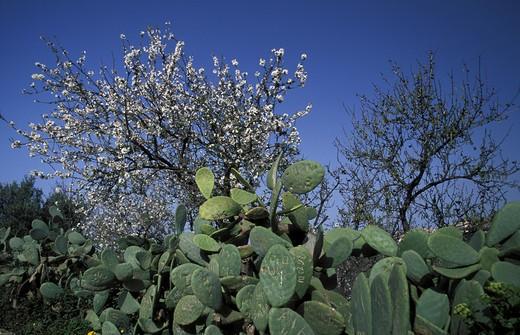 Prunus Communis, Almond tree, South Italy, Italy : Stock Photo