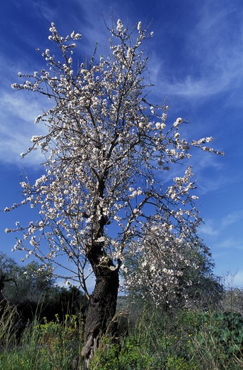 Prunus Communis, Almond tree, South Italy, Italy : Stock Photo
