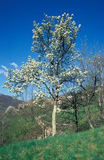 Stock Photo: 4261-51198 Pyrus Communis, Pear tree, Italy