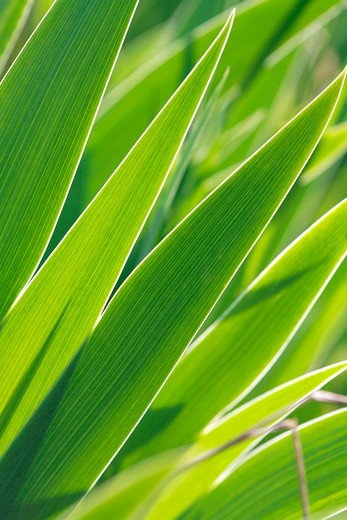 Iris germanica, leaves : Stock Photo