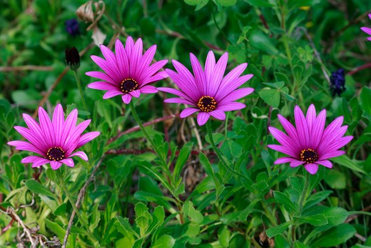 "Osteospermum ""Hopley's"" : Stock Photo"