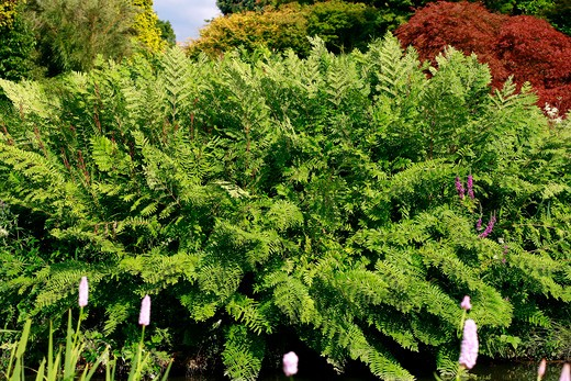 Stock Photo: 4261-52726 Osmunda regalis