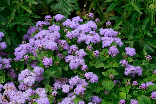 Ageratum houstonianum Blue Fields : Stock Photo