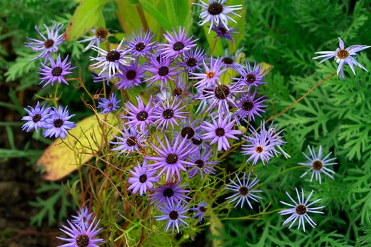 Brachyscome Blue Star : Stock Photo