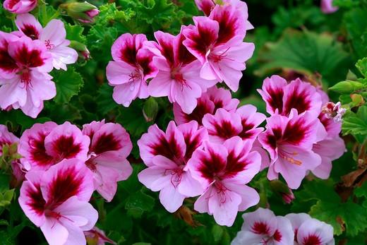 Stock Photo: 4261-53257 Pelargonium Angel Catford Belle