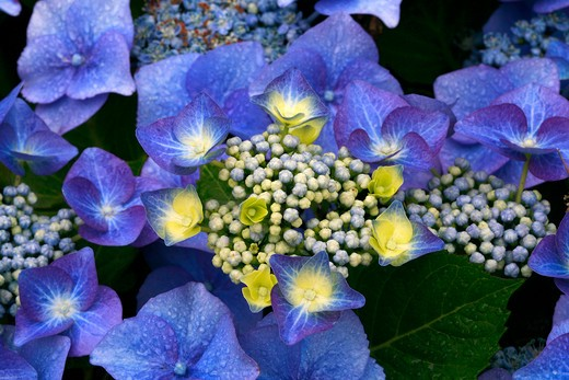 Hydrangea macrophylla Blaumeise : Stock Photo