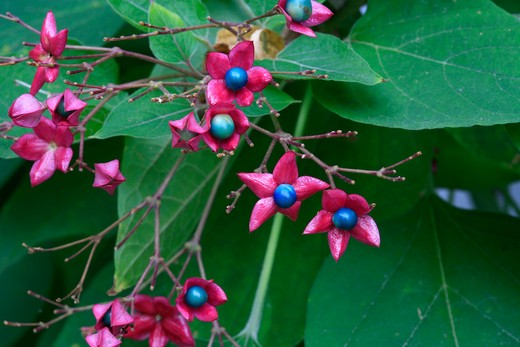 Clerodendrum trichotomum : Stock Photo
