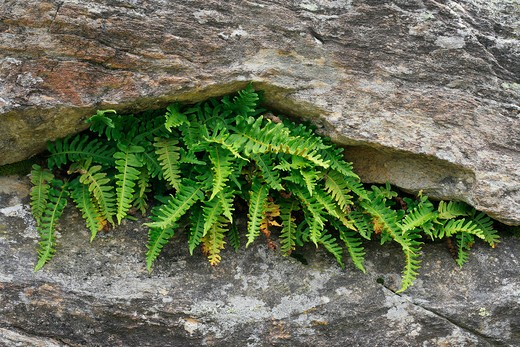 Polypodium vulgare : Stock Photo