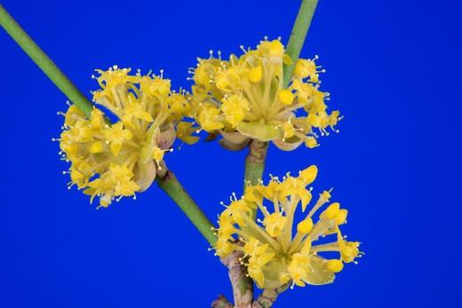 Cornus mas, cornelian cherry, corniolo, flowers : Stock Photo