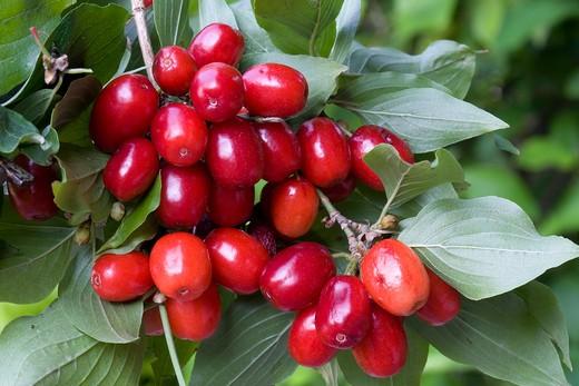 Cornus mas, cornelian cherry, corniolo : Stock Photo