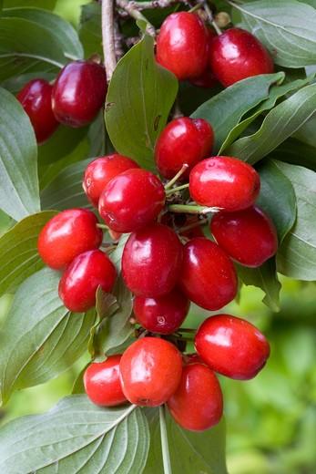 Stock Photo: 4261-55066 Cornus mas, cornelian cherry, corniolo
