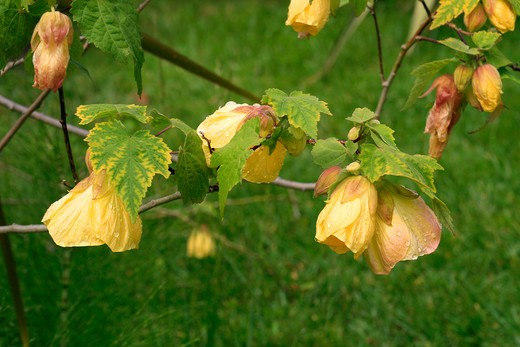 "Abutilon ""Canary Bird"", flowering maple : Stock Photo"
