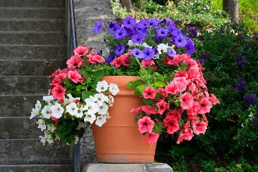 Vase with petunias : Stock Photo