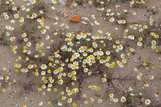 Whoolly camomile, Anthemis tomentosa : Stock Photo