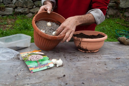 Stock Photo: 4261-57309 Potted bulbs of Allium karataviense, step 4, you put the bulbs planted