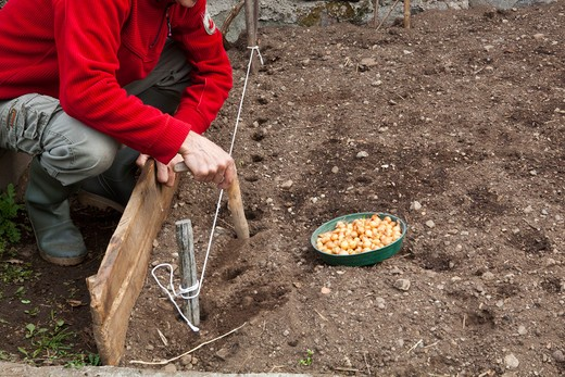 Plant onions in rows, step 2, with a planter you make holes : Stock Photo