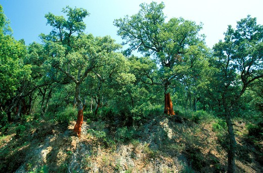Quercus Suber, North Italy, Italy : Stock Photo