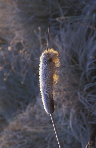 Frost on reedmace, Italy : Stock Photo