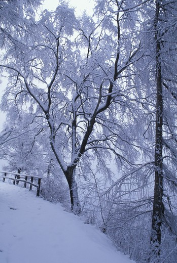 Snow on maple, Italy : Stock Photo