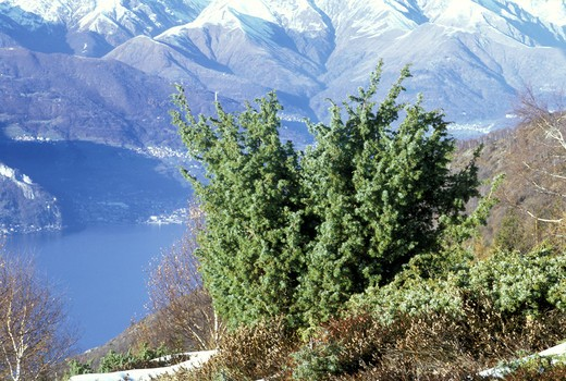Juniper, Italy : Stock Photo