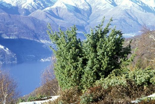 Stock Photo: 4261-58961 Juniper, Italy