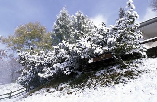 Snow on pine, Italy : Stock Photo