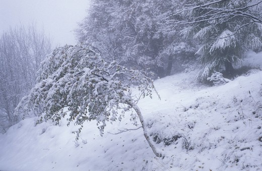 Stock Photo: 4261-59088 Snow on birch, Italy