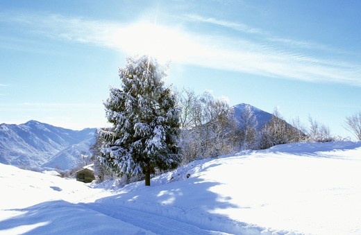 Pinewood with snow, Prealpi, Lombardy, Italy : Stock Photo