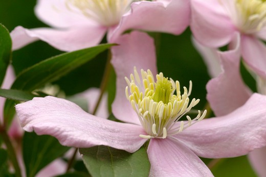 Clematis montana, Italy : Stock Photo