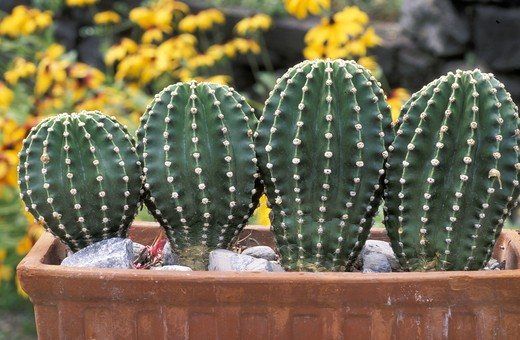 Stock Photo: 4261-59474 Echinopsis Oxygona, Italy