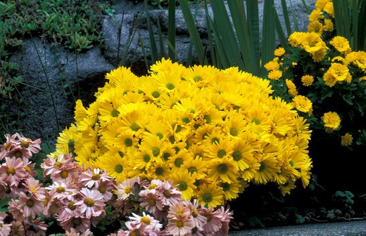 "Stock Photo: 4261-61017 Chrysanthemum ""Golden Chalice"""