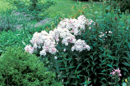 "Phlox Paniculata ""Mother of Pearl"", Italy : Stock Photo"