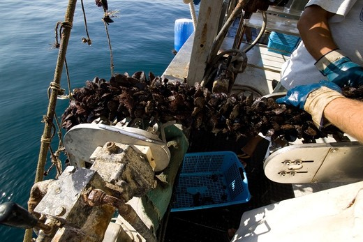 Stock Photo: 4261-6228 Mussel farming, Baia di Bacoli, Gulf of Pozzuoli, Campania, Italy