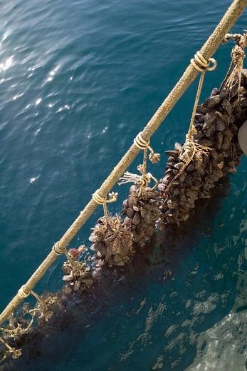 Stock Photo: 4261-6229 Mussel farming, Baia di Bacoli, Gulf of Pozzuoli, Campania, Italy
