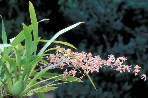 Oncidium Ornithorhyncum : Stock Photo