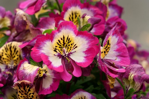"Schizanthus pinnatus ""Hit Parade"" : Stock Photo"