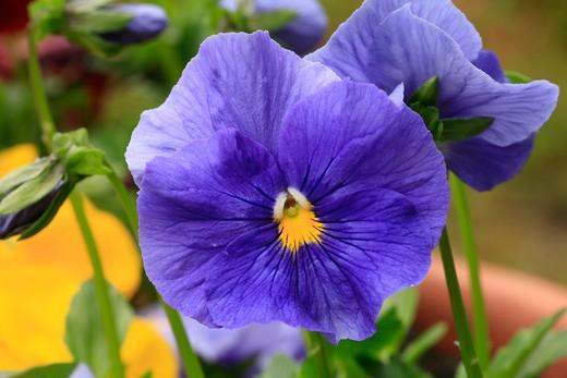 "Viola x wittrockiana ""Reve d' Orient"" : Stock Photo"