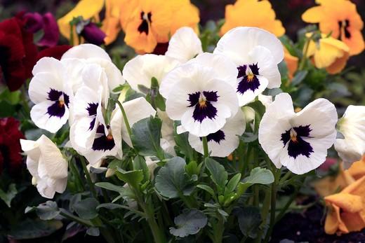 """Viola x wittrockiana """"Fama"""" : Stock Photo"""