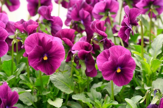 Stock Photo: 4261-63530 Viola x wittrockiana