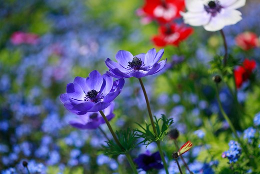 "Stock Photo: 4261-63549 Anemone coronaria ""De Caen"""