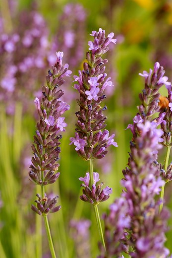 Lavandula angustifolia : Stock Photo