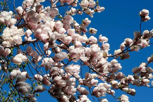 "Magnolia ""Sulphur Cockatoo"" : Stock Photo"