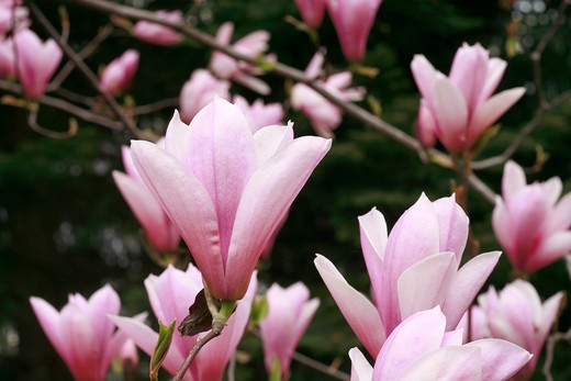 "Stock Photo: 4261-63680 Magnolia ""Heaven Scent"""
