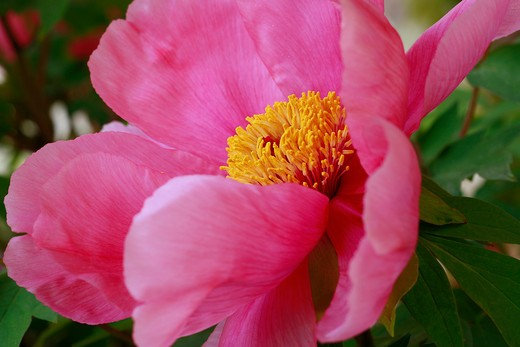 "Stock Photo: 4261-63737 Paeonia ""Mizucage"""