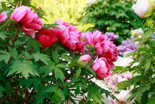 "Stock Photo: 4261-63744 Paeonia suffruticosa ""Kaow"""